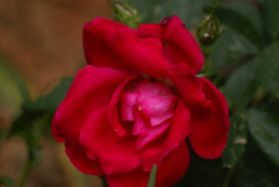 RED KNOCK-OUT ROSES