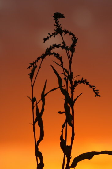 weeds sunset