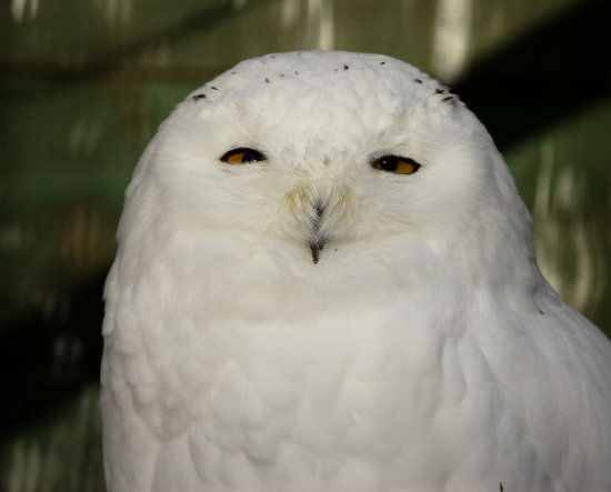 male snowy owl nature canada
