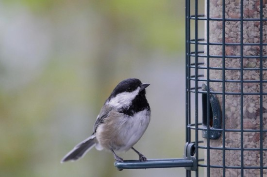 blackcapped chickadee birds Burnaby BC Canada