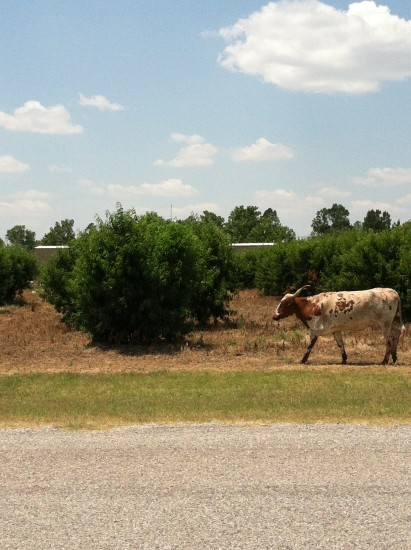 Long Horns walking through our yards.. July 2013