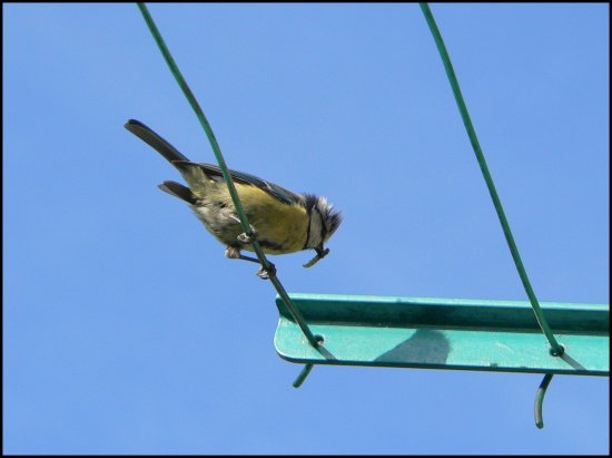 birds blue tit