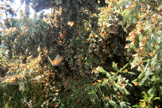 Monarch Butterflies Mexico