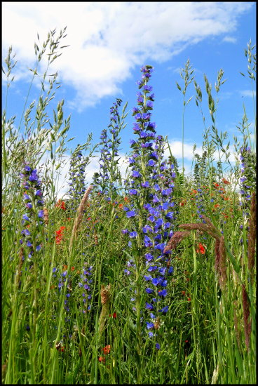 wildflowers vipersbugloss