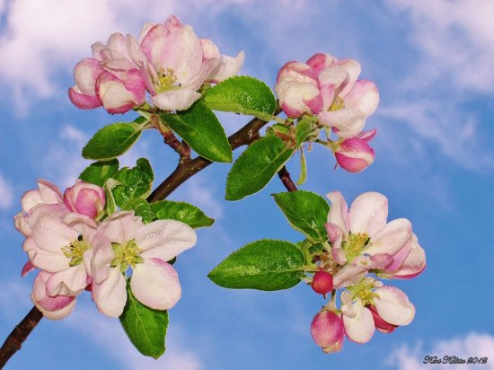 Apple Bloom White Pink Blue Yellow Skane Sweden May 2012 Aroma