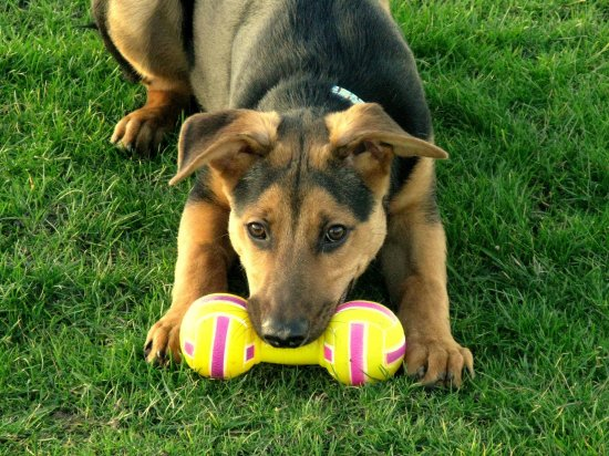 Ruben dog animal pet canine GSD doberman german shepherd cross puppy play