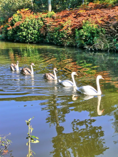 swans canal waterway wildlife
