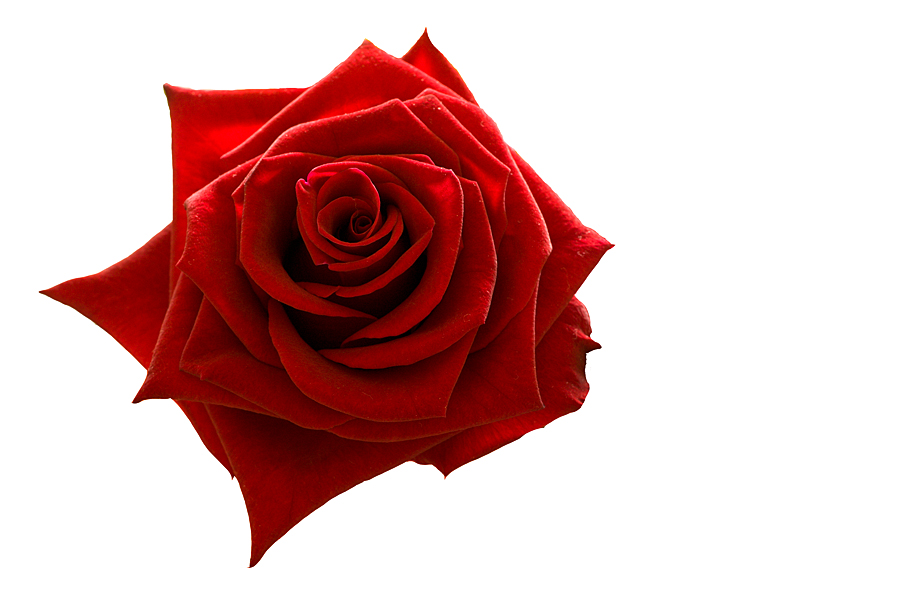 rose the symbol of love Literature: the rose in myths & legends  both in rome and in greece it is the symbol of youth, of vitality, love, beauty and the fruitfulness of nature.