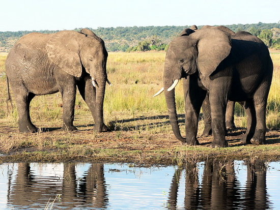Chobe Elephants River