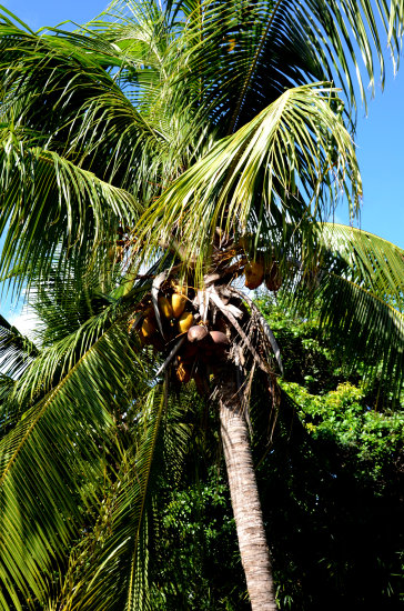 zuiderdam cruise willemstad curacao palm tree coconuts