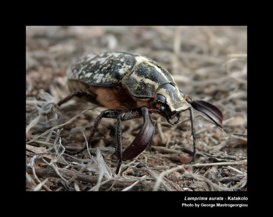 A strange beetle specie