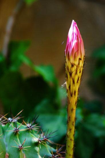 cactus bud thorns pink closeup