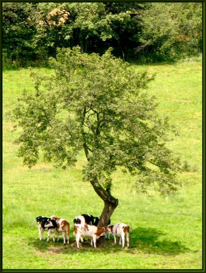 challenge76 cows nature France animals wildlife field tree summer green country