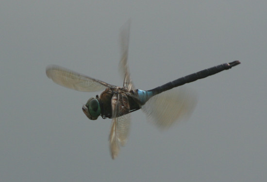 dragonfly nature luxembourg