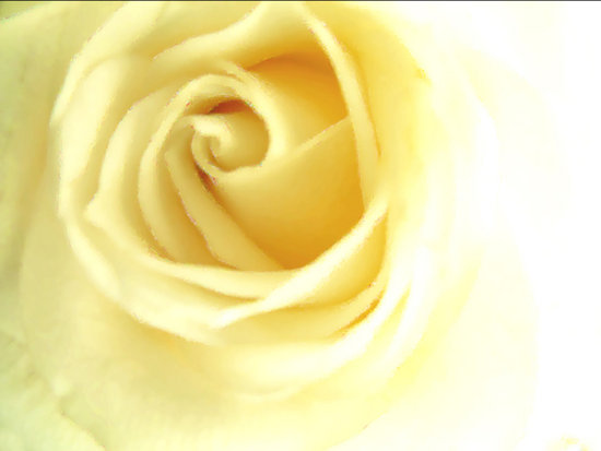 Flower Rose Pure White Yellow