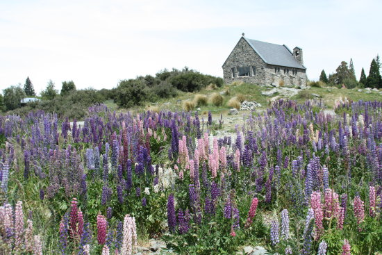 It is lupin season again In New Zealand
