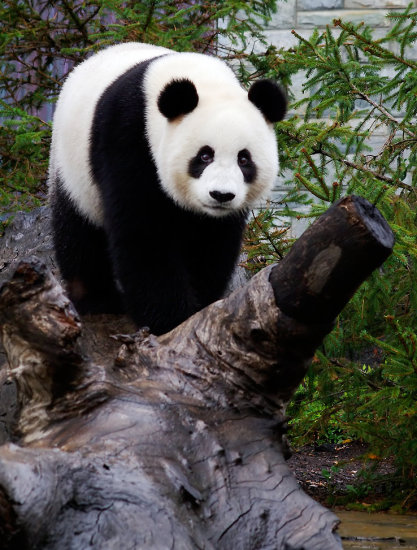 panda bear giant animal nature wildlife