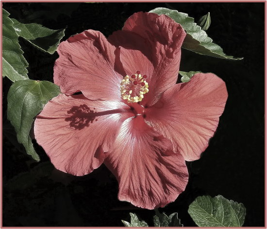 hibiscus flower light