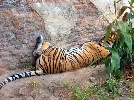 Female Tiger Sleeping Tigress Animals Cat Zoo