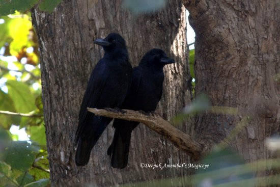 twins ravens kulgi national park camp dandeli karnataka india