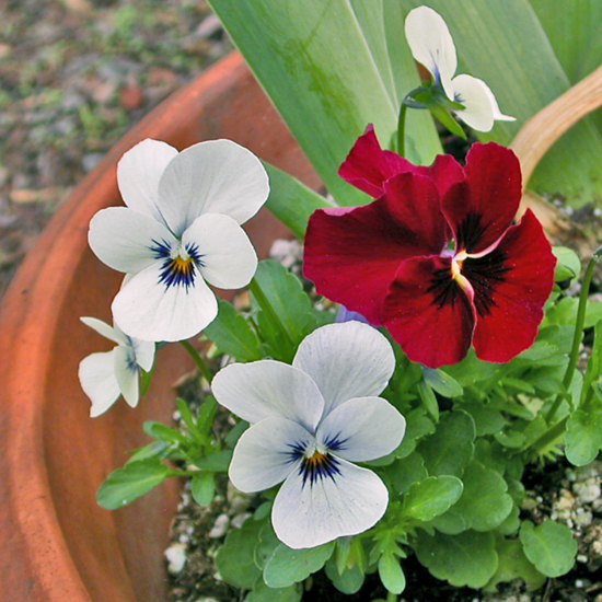 pansy pansies white whitefph red redfph garden gardenfph spring