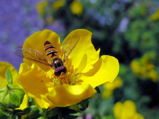 hoverfly flower