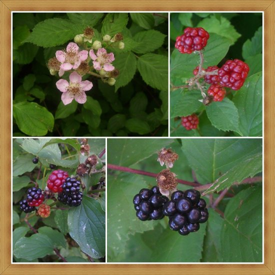 blackberry summertime