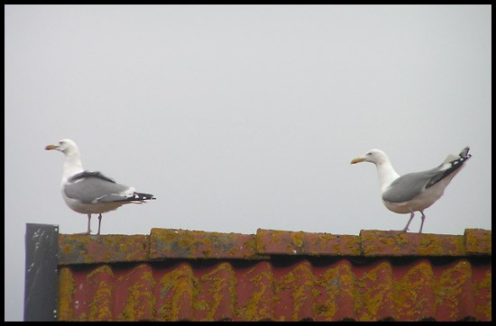 herringgull gull bird roof sky