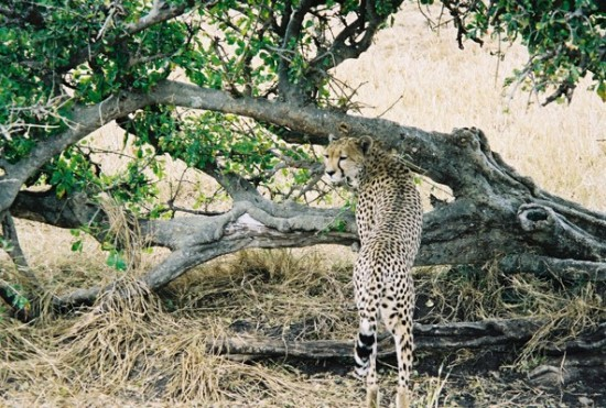Cheetah October 2002