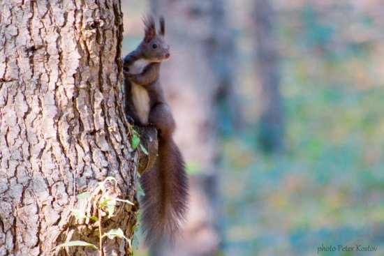 squirrel animal nature autumn nikon sigma varna bulgaria