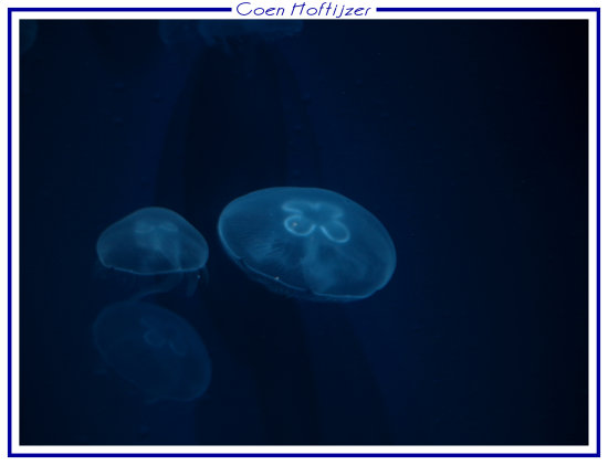 jellyfish animal zoo CH1988