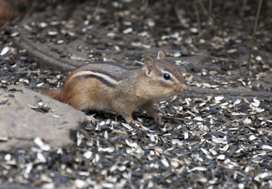 So cute and no fear.  I was about seven feet as he stuffed those chipmunk cheeks with seeds.