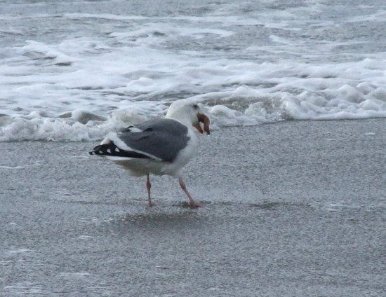 Gull trying to be greedy and stuff an entire starfish down its throat