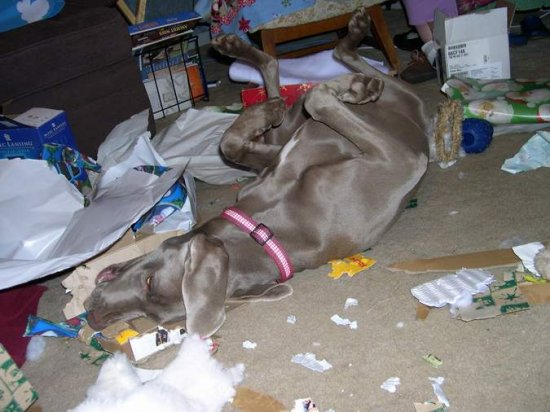 this photo won third prize, for funnies weimaraner in the virtual dogs show on weimaraner forum, uk.