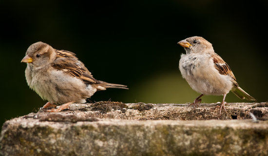 House Sparrows Passer domesticus nikon d300 300mm f4 14TCEII birds birding