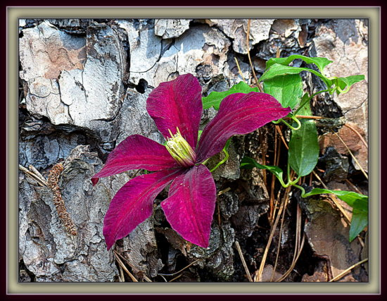 """Clematis"" is one of the flowering vines that does well in N. Florida.  In this photo, I thought ..."