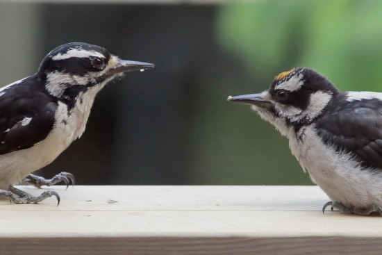Downy Woodpecker Burnaby Birds Fledgling feeding