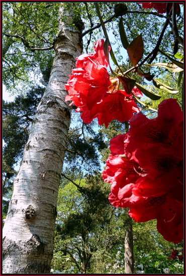 rhododendron flower trees