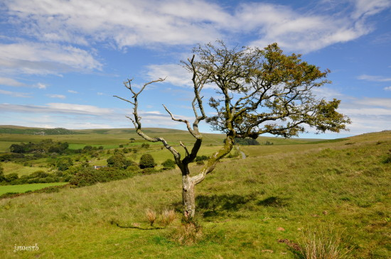 sheepstor dartmoor devon tree