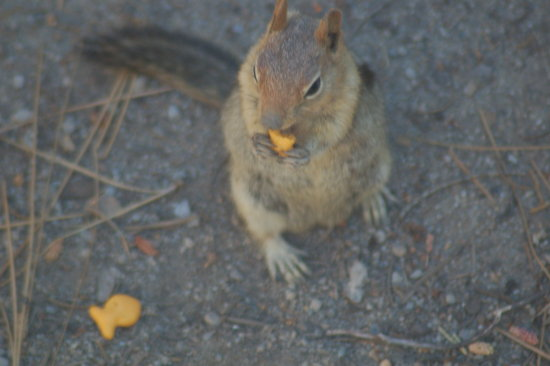 chipmunk having goldfish crackers at the rest stop in lake almanor california
