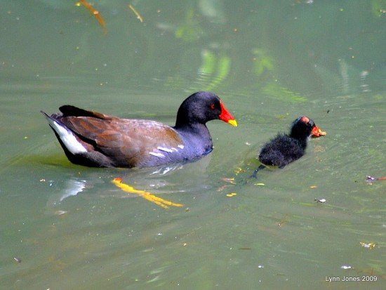 moorhen baby chick wildbird