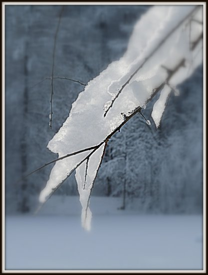 twig snow frozen winter