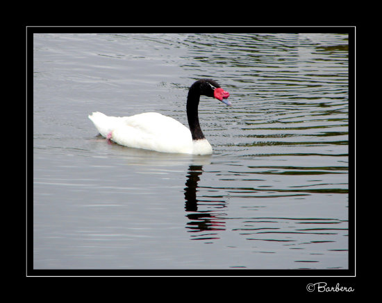 swans blackneckswan birds animal nature chile