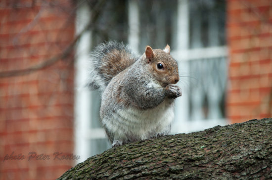 squirrel animal nature park winter london england uk niikon sigma