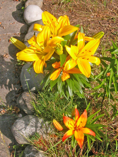 lily lilies oakland orange gold yellow yellowfph summer