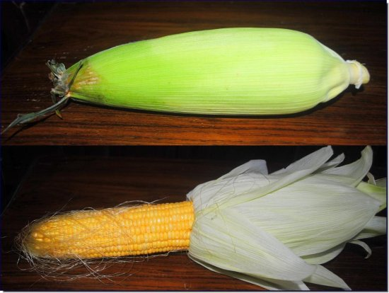 iyerharis Corn Images
