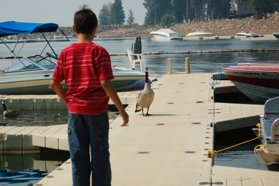 canadian geese at lake almanor california told you they tried to eat my brother