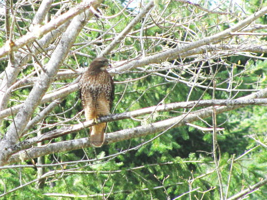 birds redtail hawk