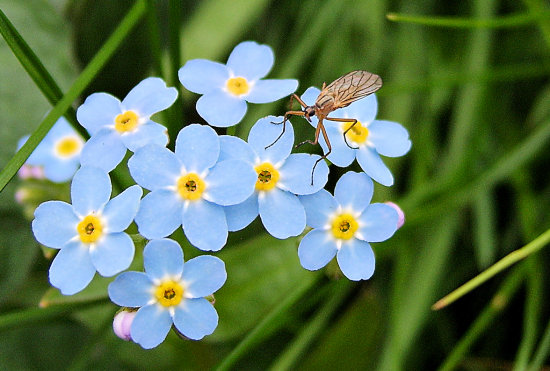 insect macro flower forgetmenot