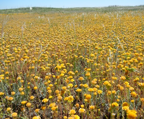 goldfields grasslands california flowers